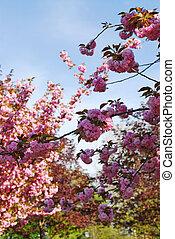fruktträdgård, blomning