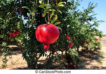 fruktträdgård, judisk, granatäpple, -, år, färsk, symbol
