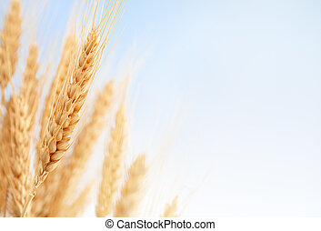 frumento, orecchie, in, il, fattoria