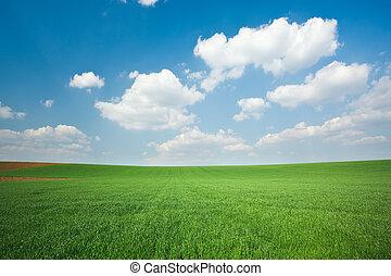 frumento verde, campo, blu, cielo