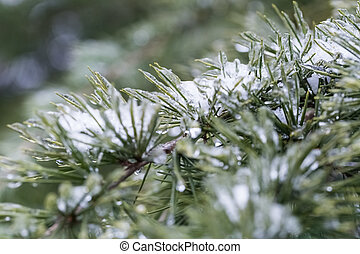 frusen, furuträ stift, in, vinter