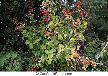 fruta,  -, amora preta