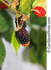 fruta, amora preta