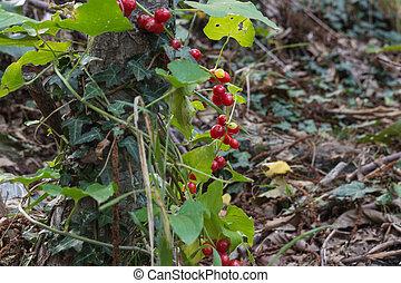 fruta, arando