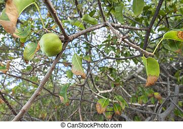 fruta del árbol, manchineel