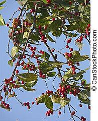 fruta, winterberry, india, maharashtra, común, acebo, verticillata, ilex, ratnagiri