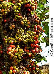 frutas, e, fruta, ligado, a, árvore