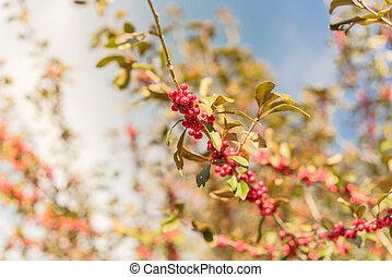 frutas rojas, ramas, otoño, soleado, tejas, decidua, día árbol, ilex, winterberry, hermoso