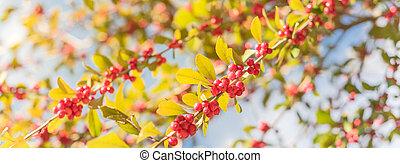 frutas rojas, ramas, panorámico, otoño, soleado, tejas, decidua, día árbol, ilex, winterberry, hermoso