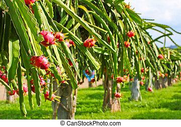 frutta drago, in, giardino