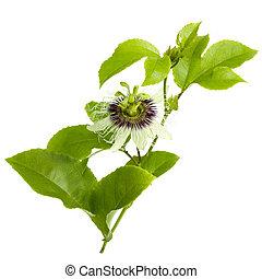frutta passione, fiore, e, foglie, isolato, bianco