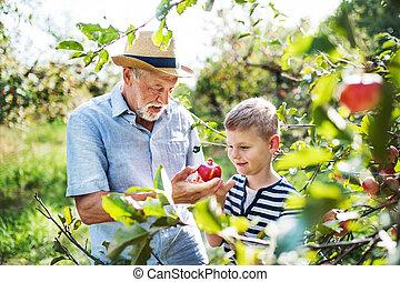 frutteto, nipote, autumn., mele, scegliere, uomo senior