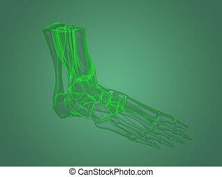 fuß, koerperbau, röntgenaufnahme