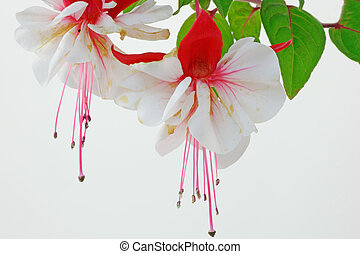 Fuchsia Bloom in High Key - Close up of a fuchsia flower in...