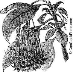 Fuchsia corymbiflora vintage engraving