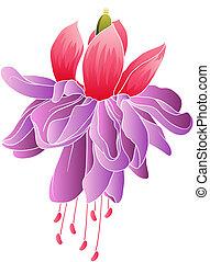 Fuchsia flower isolated