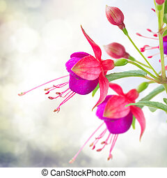 Fuchsia flower on white