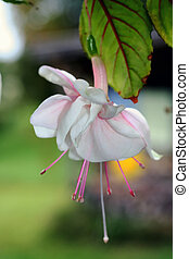 Fuchsia Flower, pink and white
