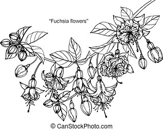 Fuchsia flowers drawing and sketch with line-art on white backgrounds.