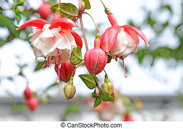 Fuchsia flowers - Fuchsia lena flowers in garden under sunny...