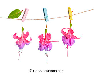 fuchsia flowers handing on rope with colorful clothespin is isolated on white background, closeup