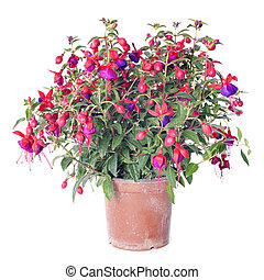 Fuchsia flowers in front of white background