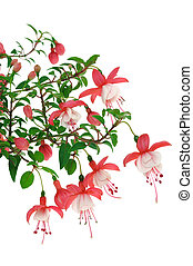Fuchsia flowers over white background