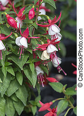 Fuchsia flowers red and white