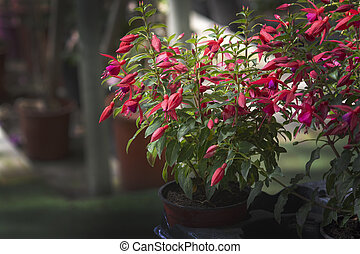 Fuchsia flowers red