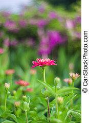 Fuchsia flowers.