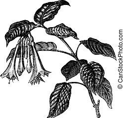 Fuchsia fulgens vintage engraving