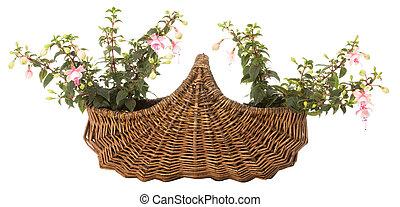 Fuchsia in a basket