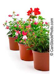 fuchsia, isolé, géranium, pot, fond, fleurir, blanc