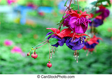 fuchsia lena flower in garden