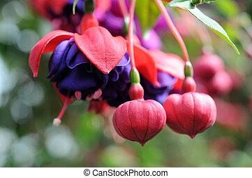 fuchsia lena flower