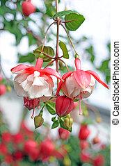 Fuchsia lena flowers