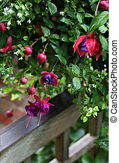 Fuchsia  Onagraceae Flower