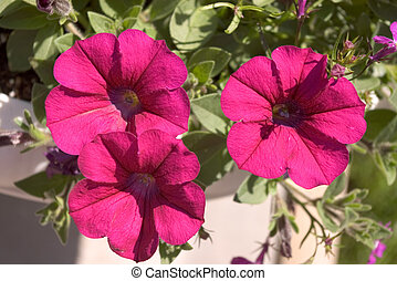 Bright pink petunia blooms