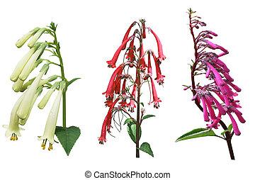 Fuchsia Triphylla Set