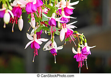 Fuchsia - White and pink flowers of fuchsia