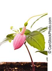 fuchsie, květ