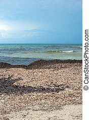 fucus, vesiculosus., praia, com, antigas, algae.