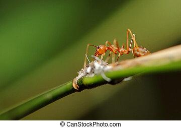 fuego, hormigas