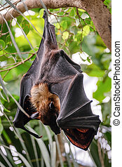 FUENGIROLA, ANDALUCIA/SPAIN - JULY 4 : Flying Fox Bat (Pteropus) at the Bioparc in Fuengirola Costa del Sol Spain on July 4, 2017