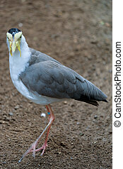 FUENGIROLA, ANDALUCIA/SPAIN - JULY 4 : Masked Lapwing (Vanellus miles) at the Bioparc Fuengirola Costa del Sol Spain on July 4, 2017