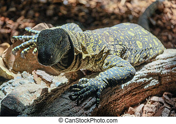 FUENGIROLA, ANDALUCIA/SPAIN - JULY 4 : Monitor Lizard at the Bioparc in Fuengirola Costa del Sol Spain on July 4, 2017