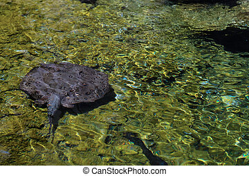 FUENGIROLA, ANDALUCIA/SPAIN - JULY 4 : Ray Swimming at the Bioparc in Fuengirola Costa del Sol Spain on July 4, 2017