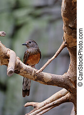 FUENGIROLA, ANDALUCIA/SPAIN - JULY 4 : White-rumped Shama (Copsychus malabaricus) at the Bioparc Fuengirola Costa del Sol Spain on July 4, 2017