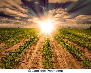 fuerte, ocaso, en, campo de la granja, con, filas, de, soja,...