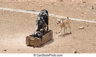Fuerteventura Goat